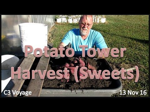 Potato Tower:  Sweet Potato Harvest