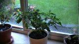 My Entry in jihadacadien's Indoor Gardening Contest