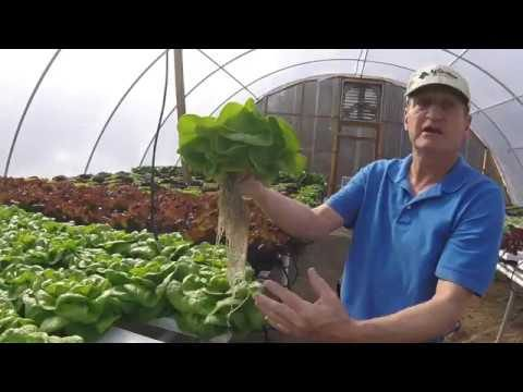Hydroponics Living Lettuce – Little g Farm