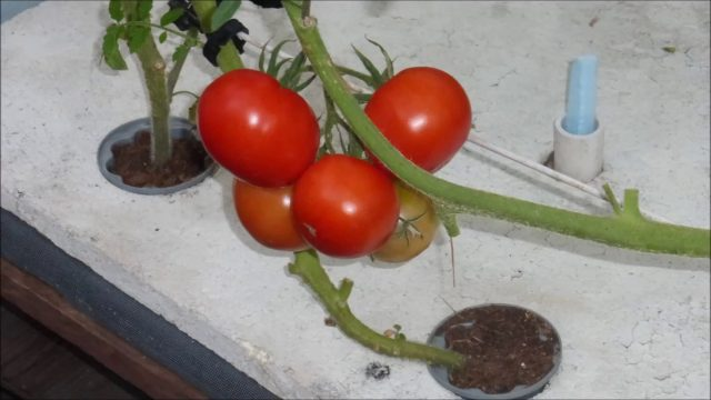 Growing Peppers and Tomatoes by a Suspended Pot, Non Circulating Kratky Hydroponic Method