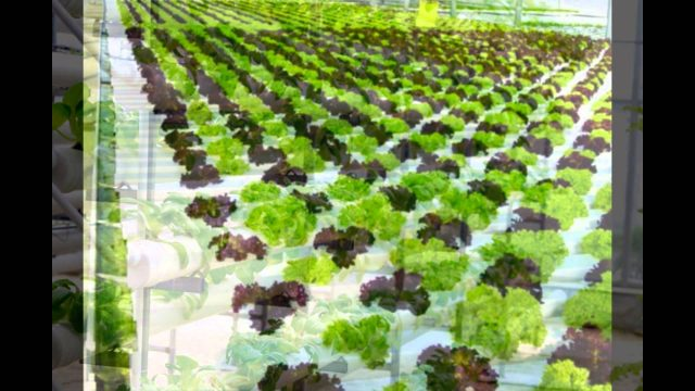 The Advantages and Disadvantages of Hydroponics