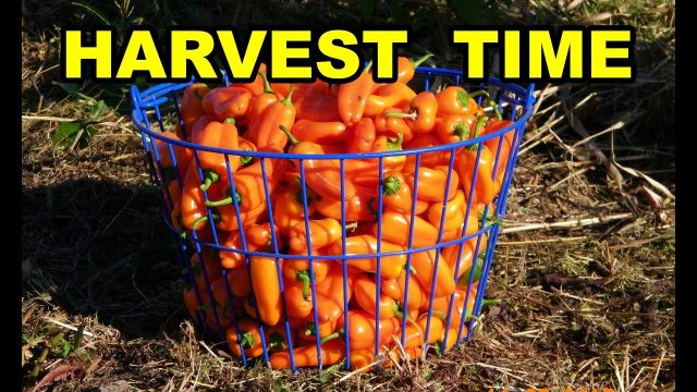 Peppers Harvest Time. True NO TILL Organic Vegetable Gardening with mulch for beginners 101.  Pt 8
