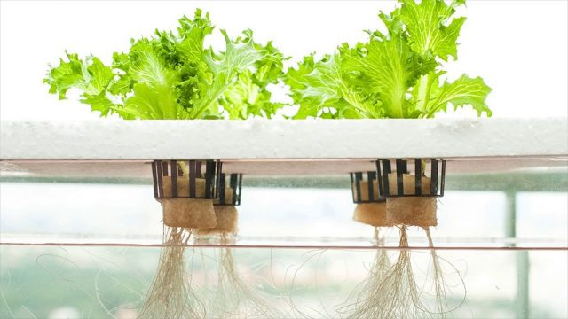 How To Grow Your Own Plants In A Hydroponic System – Various Types Of Plants