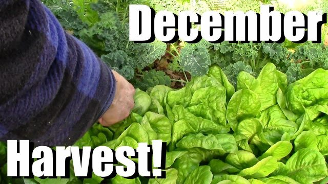 December Vegetable Garden Harvest (Zone 5): Local Food at its Best!