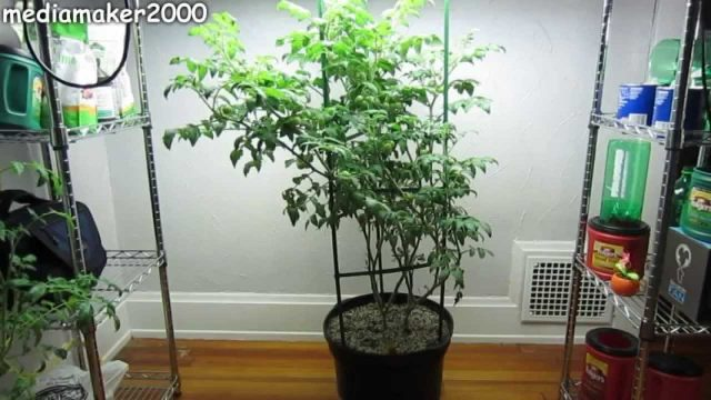 Easy Hydroponic Tomato – No Pumps! Growing Fast!  Experiment DIY