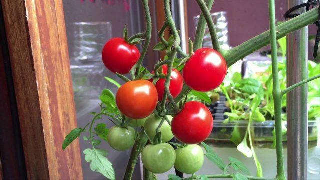 Hydroponic Gardening – Grow Organic Plants Fast – Cherry Tomatoes / ដាំប៉េងប៉ោះឈើរី