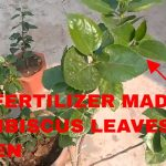 YELLOW LEAVES ON HIBISCUS!! THIS BEST ORGANIC FERTILIZER WILL TURN LEAVES GREEN