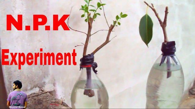 कटिंग उगाये बिना मिटटी के/Grow Cuttings With NPK /Hydroponic system – 28th June 2017 /Mammal Bonsai