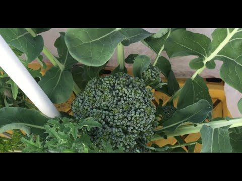 How to Grow Hydroponic Broccoli and Kale Outdoors
