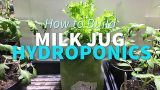 Milk Jug Hydroponics – How To Grow Lettuce in a milk jug