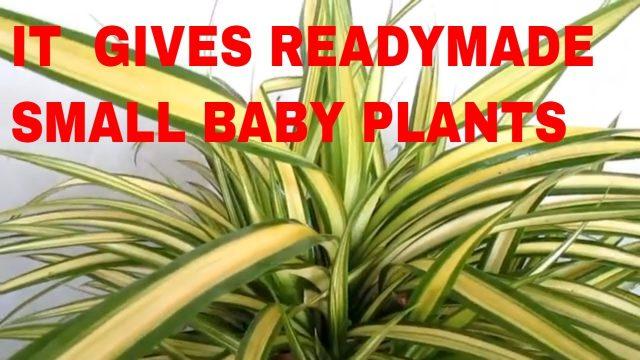 यह पौधा तैयार बच्चे देता है! PLANT THAT GIVES SMALL BABY PLANT