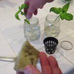 Grow Infinite Basil Plants for using Hydroponics or the Kratky Method
