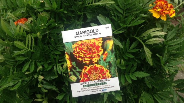 Grow Marigolds in your Vegetable Garden