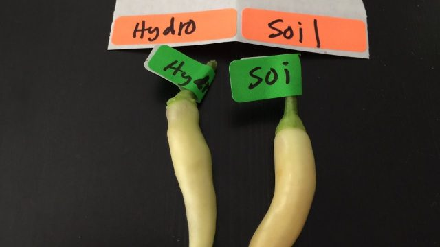 Hydroponic Vs Soil Peppers – Can You Taste The Difference?
