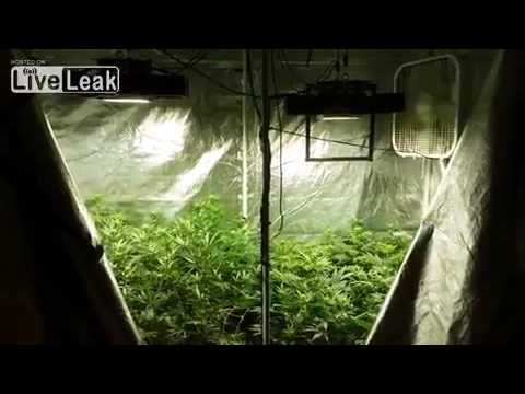 9 weed plants growing hydroponic (legally grown)