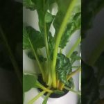 Tower Garden Juice Plus 6 weeks