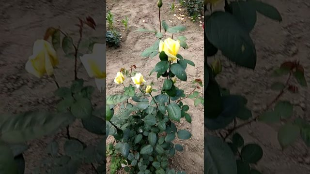 Rose garden dept of botany ccs university meerut
