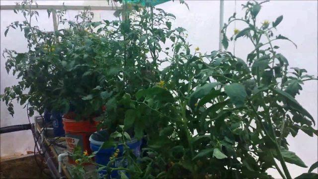 Hydroponic tomatoes June 12 2016