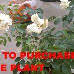 गुलाब के पौधे को नर्सरी से कैसे ख़रीदे  HOW TO PURCHASE ROSE PLANT FROM NURSERY