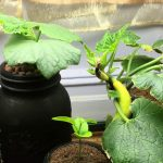 Hydroponic Kratky Squash, Orange and Cucumber Plant – Updates