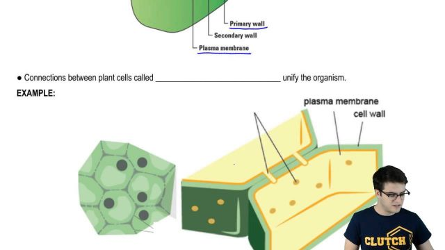 Cell Junctions Plant Cell Walls and Plasmodesmata