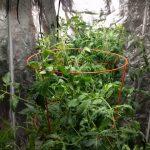 Indoor gardening: hydroponic tomato test – month 2