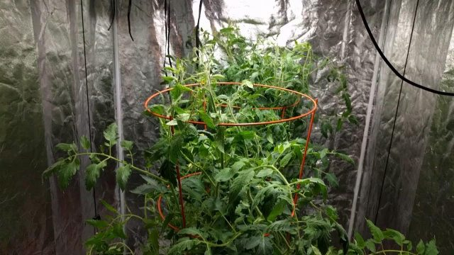 Indoor gardening: hydroponic tomato test – month 2