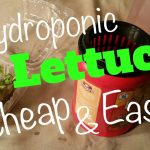 Organic Hydroponic Lettuce Cheap and Easy Kratky Hydroponics Anyone Can Do