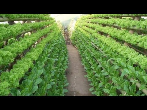 NEW, Agriculture Technology 2018 | Hydroponic Lettuce Plant