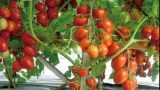 NEW, Agriculture Technology 2018 | Tomato Tree Hydroponic