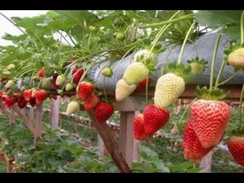Growing Hydroponic Strawberries
