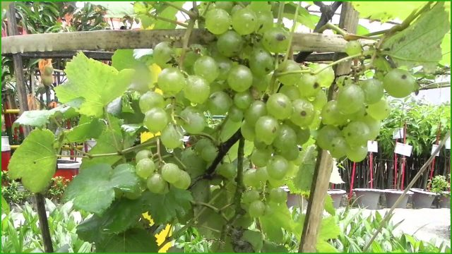 Are You Interested About The Gardening of ❥❥Grape❥❥? Watch This Video.