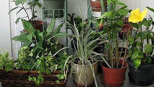 Basic Rules Of Maintaining Plants In Indoor Gardening- How Often Water Required
