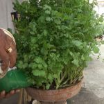 Grow Coriander plant in a pot || roof gardening (with english subtitle)
