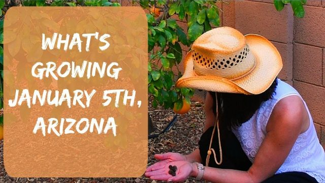 A Gardening Video – Arizona Garden in January, 2018