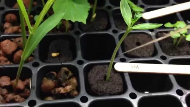 AMAZING Growth in a Homemade Hydroponic Seed Starting System [DAY 14] Transplant!
