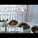 Winter Greenhouse:  Growing Tomatoes & Peppers in Tight Quarters