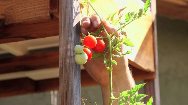 How to Hold Up Hydroponic Tomatoes : Hydroponic Gardening