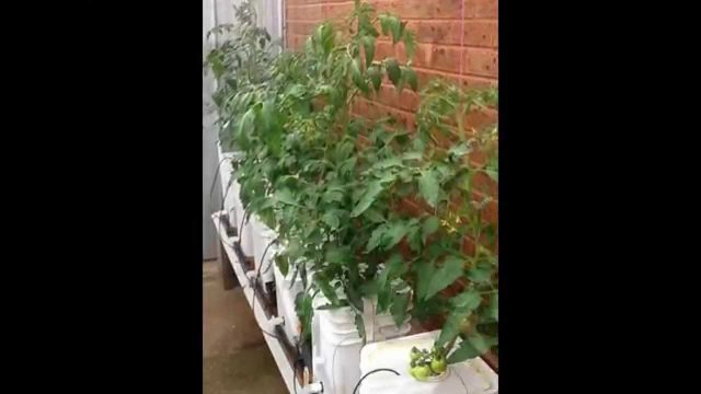 Hydroponic Tomatoes 2013
