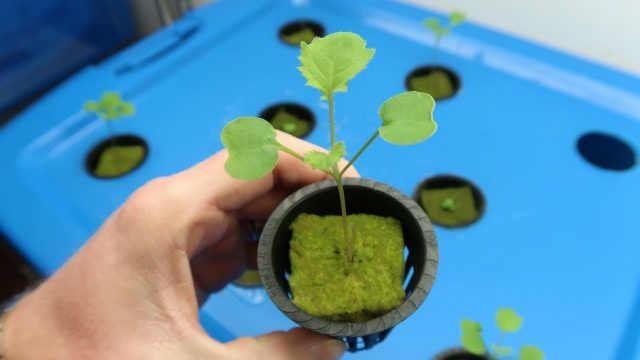 How to Grow Kale Hydroponically