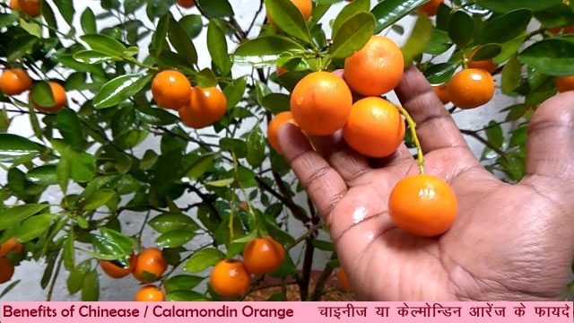 Health Benefits of chinese/calamondin orange/ CITY GARDENING