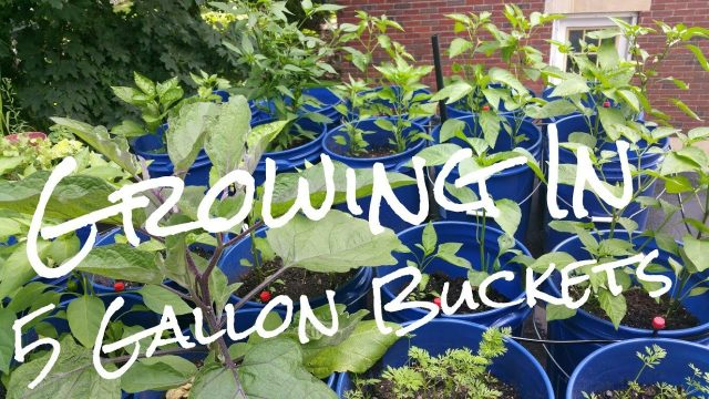 Growing In 5 Gallon Buckets Benefits of Container Gardening