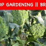 Grow Broccoli in a poly bag    ROOF Gardening (with english subtitle)