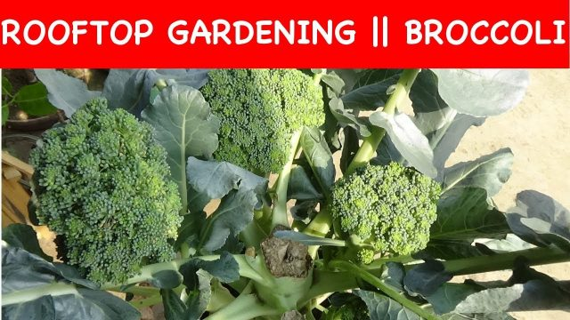 Grow Broccoli in a poly bag || ROOF Gardening (with english subtitle)