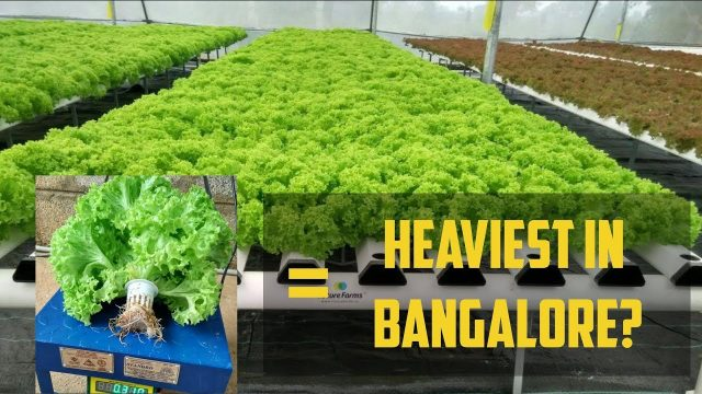 Behind the Scenes with Future Farms (India) – #23 Bengaluru, welcome Hydroponic produce!