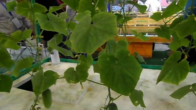 বাংলাদেশে পানিতে শষা চাষ   Hydroponic Cucumbers in Bangladesh