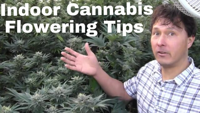Indoor Cannabis Flowering Tips to Grow Dense Buds & Prevent Mildew