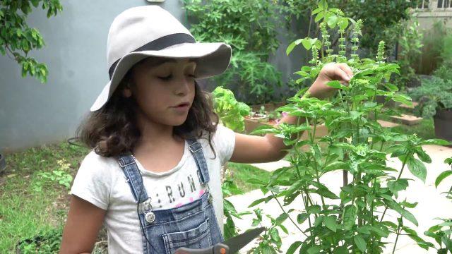 Zoe healthy garden – Kids herbal and home gardening: Basil