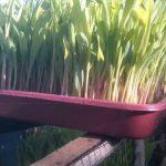 Fodder corn Hidroponik-indian farmer success story
