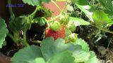 Erdbeere im Vertikalen  Garten  20.05.2017